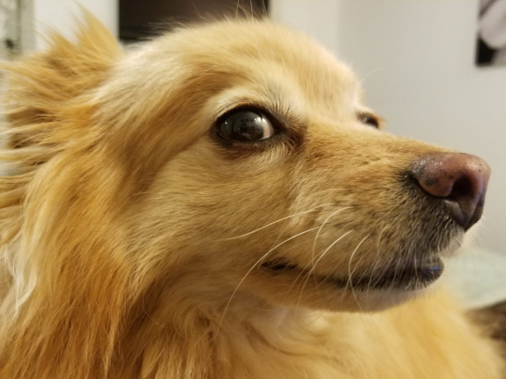 A Close-up of a Nervous Pomeranian
